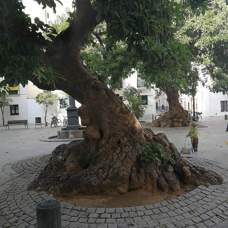 Cipí_plaza_árbol