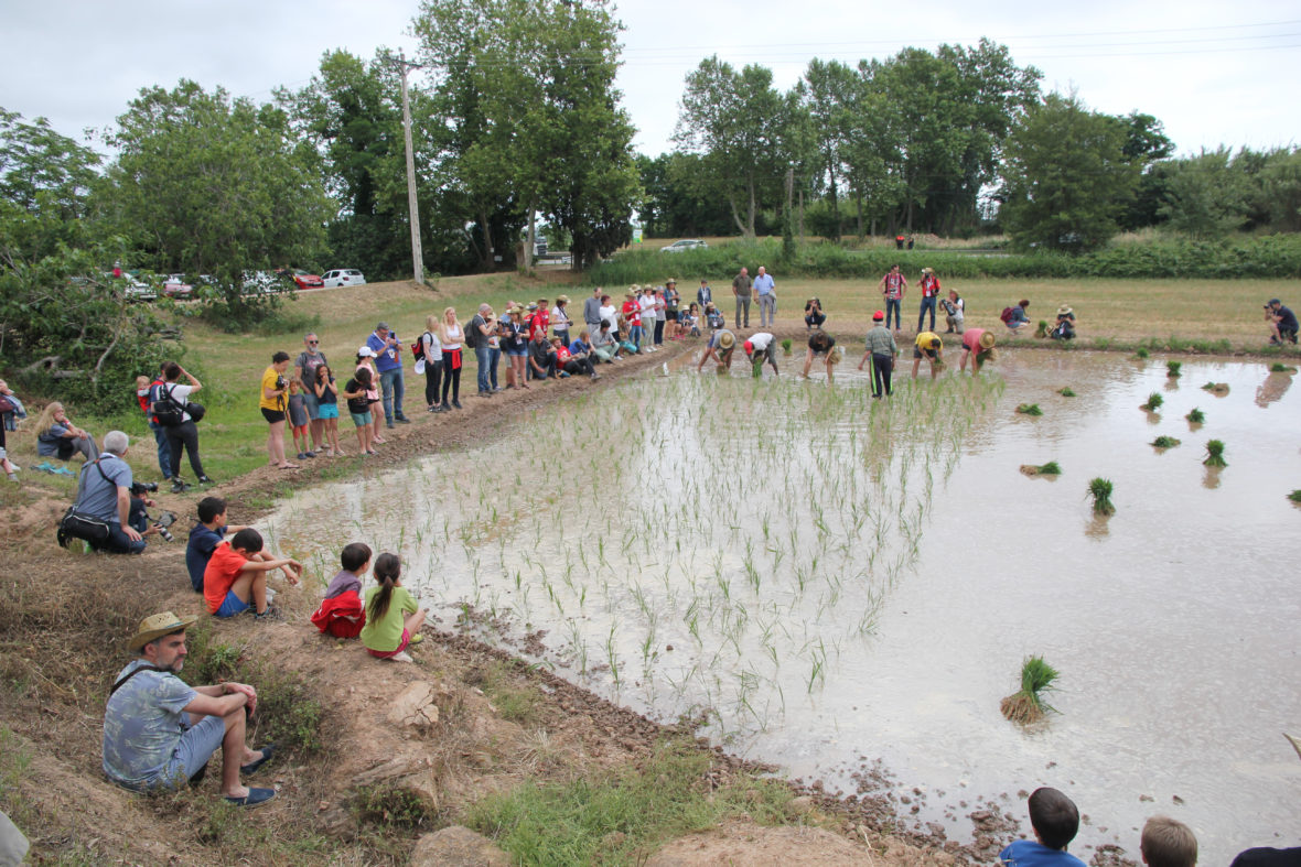 gente plantando arroz de Pals