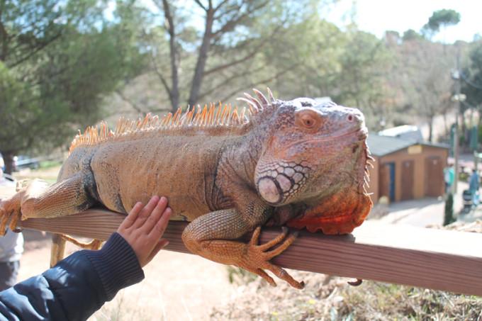 iguana CAN