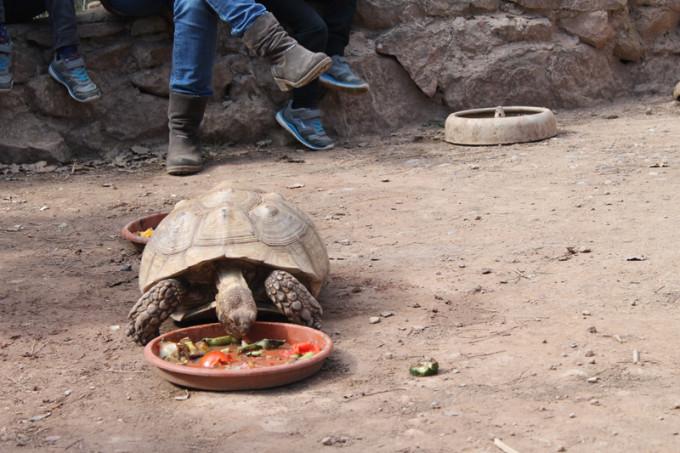 tortuga grande